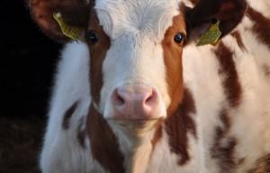 Vaca mirando