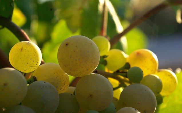 Uvas aún en la parra, esperando a los vendimiadores