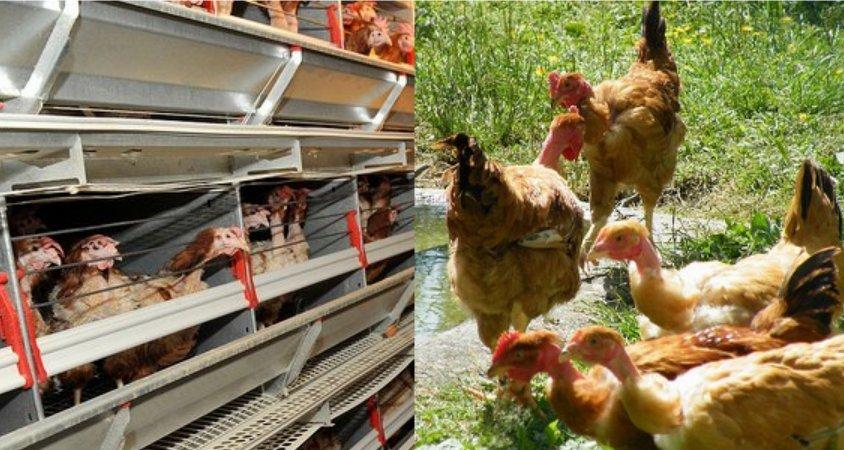 Gallinas criadas en jaulas y gallinas de granjas ecológicas