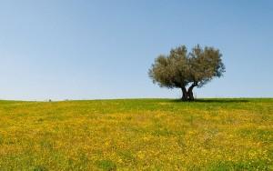 Un olivo en medio de un campo de flores amarillas