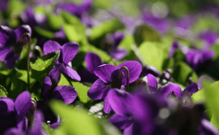 Flores de violetas en el campo