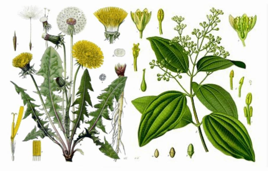 Diente de león y canela, dos plantas para adelgazar muy usadas