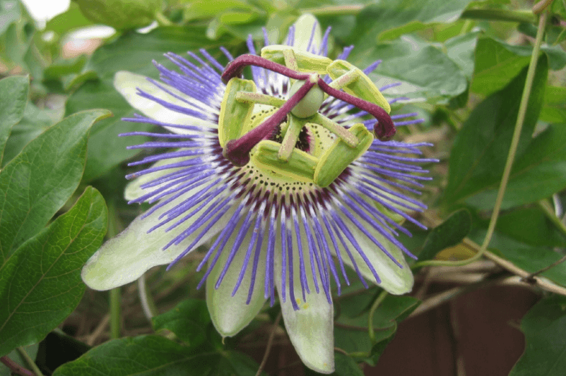 Pasionaria, o flor de la pasion, o flor del maracuya