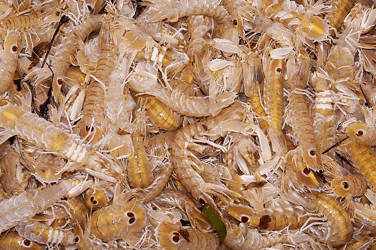 Galeras recién pescadas