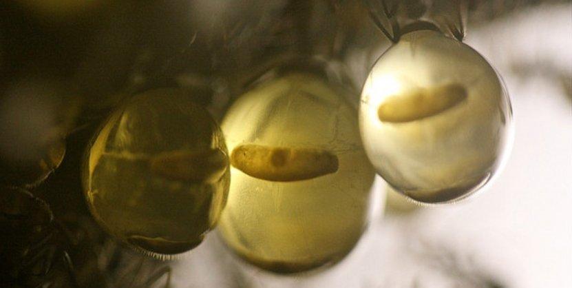 """Hormigas comestibles de miel o """"honeypot ants""""."""