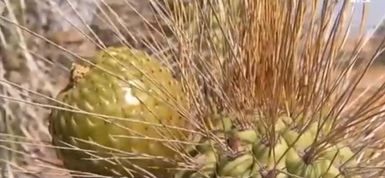 fruto del copao